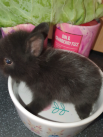 Dwarf/lionhead stunning bunnies