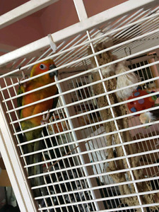 BABY SUN CONURE + DNA DOCUMENT +CAGE