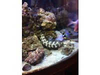 Snowflake eel 15 inch for sale 25 pounds