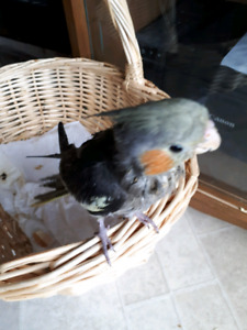 Just sweet baby girl cockatiel is looking for a forever family