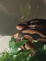 Male ball python for sale