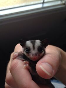 Two sugar glider joeys for sale