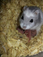 Winter White Hamsters. Best Quality & Prices GUARANTEED!!!