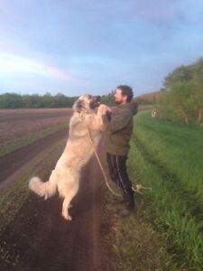 Anatolian/German Shepherd puppies