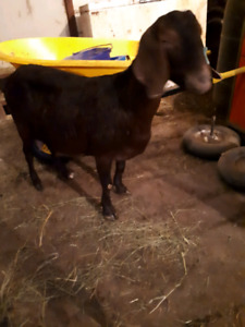 Boer goat does and doelings
