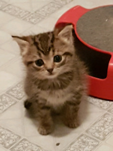 FREE KITTEN only to a good home