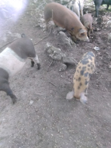 Heritage male pig for sale