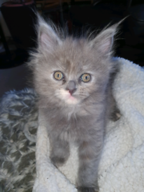 Maine coon; 1 i 2nd girls & 3,4,5th boy's
