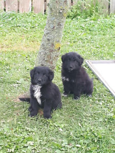 Border Collie | Kijiji in Ontario  - Buy, Sell & Save with