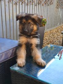 Kc registered German shepherd
