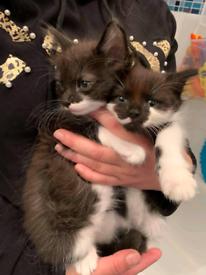 Kittens(ginger kitten sold, girl reserved)
