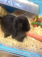 Bunny, Cage, and Pen Free to Good Home