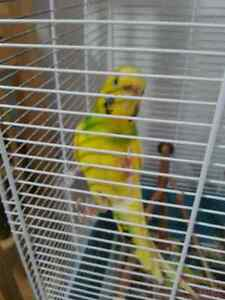 Looking for a good home for a very friendly budgie