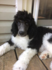 Standard Poodle Puppies Differences