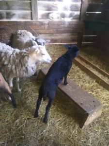 Baby goats and sheep for sale