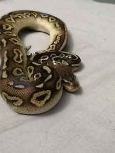 Male pewter ball python