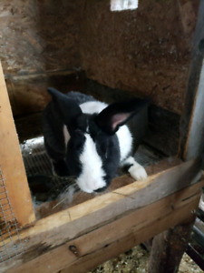Meat mutt rabbits for sale