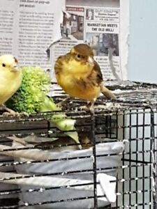 Active, Healthy Canaries, GREAT PRICE!!