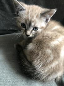 Mixed Saimese tabby Kitten for sale