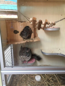 Chinchillas to rehome