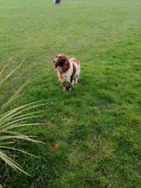 Male cocker spaniel pending pick up