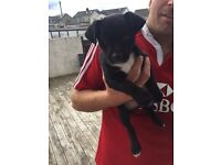 Jack Russell pup £100