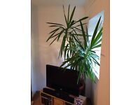 Many House Plants For Sale - Large (4ft - 7ft) and Small - Healthy Vibrant with Pots (£10 - £40)