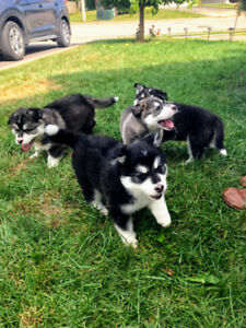 Cute mixed Husky pups ready to go