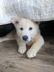 Huskies Ready For Rehoming  January 13th 2019