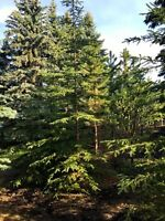 Mature trees - Jack Pine, Colorado Spruce, Crabapple