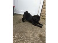 Outstanding black kc reg pug puppy