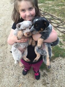 One blue heeler and one red heeler for sale