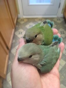 Hand -tamed Baby Lovebirds