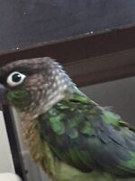 Selling Green cheek conure with big and carrying cage