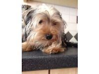 Yorkshire terrier male. Date of birth 20.1.2016