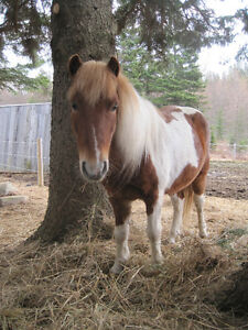 Pinto Pony for sale