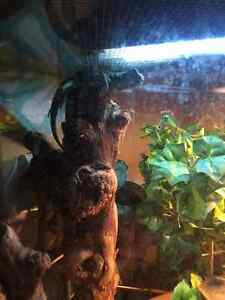 Chinese Water Dragon with 70 Gal. Tank and accessories London Ontario image 2