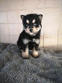 Pomsky pups