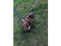 Brindle lurcher female £200