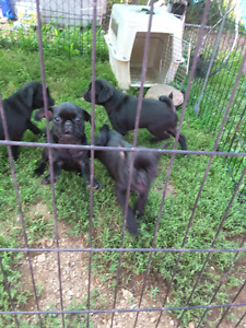 Black pure pug puppies for sale
