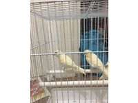 Canary bridging pair with cage £60