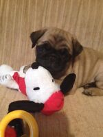 Male pug puppy wanted now or near future breeding of next litter