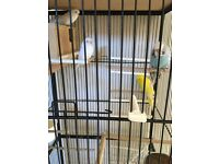 Budgies two pair for sale