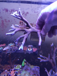 Salwater Corals for sale (big pieces)
