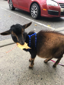Lost Goat, 5 months old.
