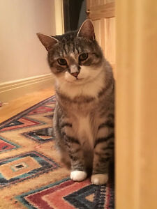 Lost striped grey tabby cat in Pointe-Claire