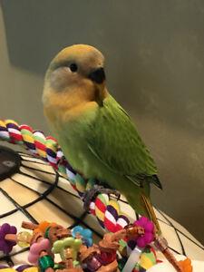 Beautiful Registered Orange Head Opaline Baby Lovebird - SOLD