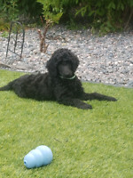 CKC reg'd Standard Poodle Puppies | Dogs & Puppies for Rehoming