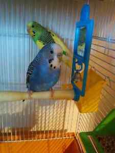 Budgies for 80$ with cage