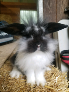Lionlop Baby Bunnies - last two from two litters